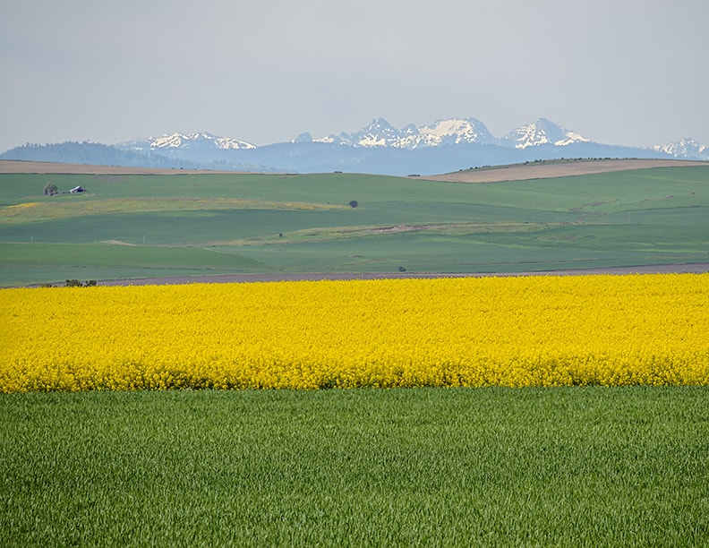 Blooming canola fields in northern Idaho